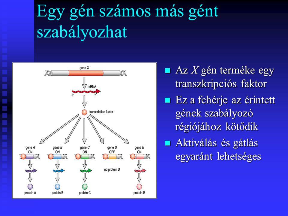 Egy gén számos más gént szabályozhat Az X gén terméke egy transzkripciós faktor Ez a fehérje az érintett gének szabályozó régiójához kötődik Aktiválás és gátlás egyaránt lehetséges