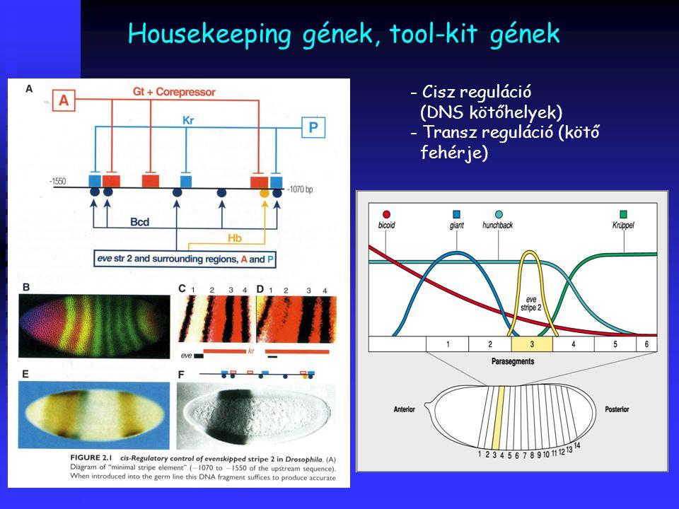 Housekeeping gének, tool-kit gének - Cisz reguláció (DNS kötőhelyek) - Transz reguláció (kötő fehérje)
