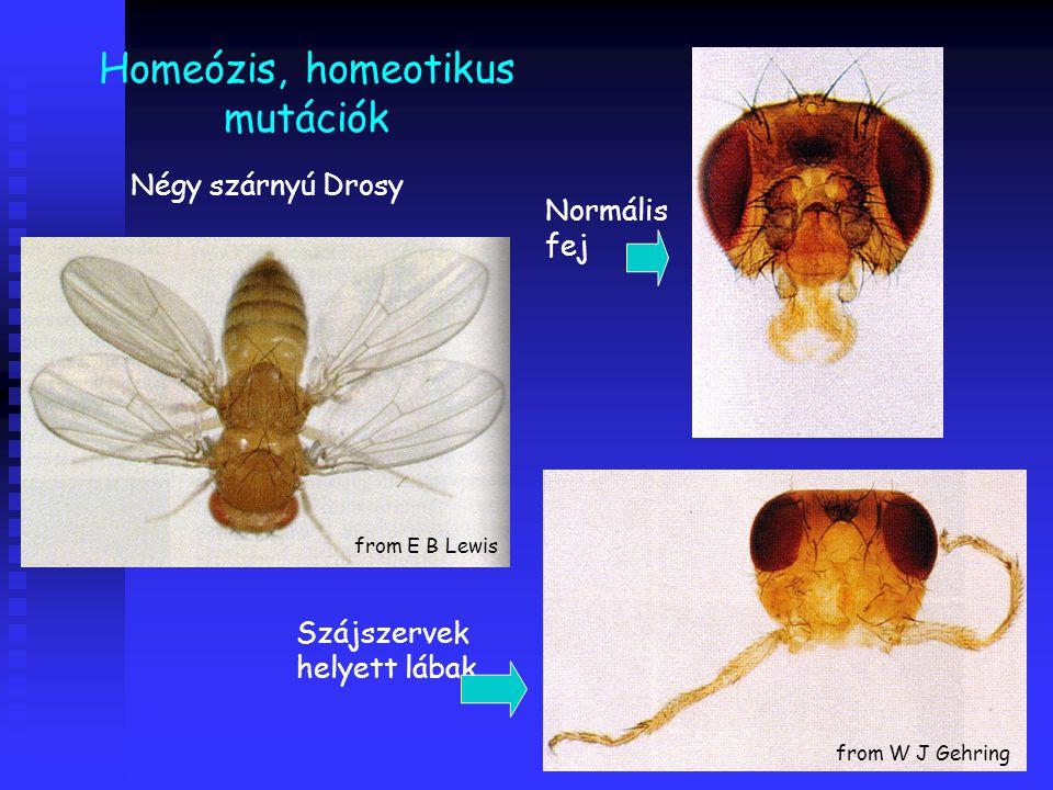 Homeózis, homeotikus mutációk Normális fej Négy szárnyú Drosy Szájszervek helyett lábak from W J Gehring from E B Lewis