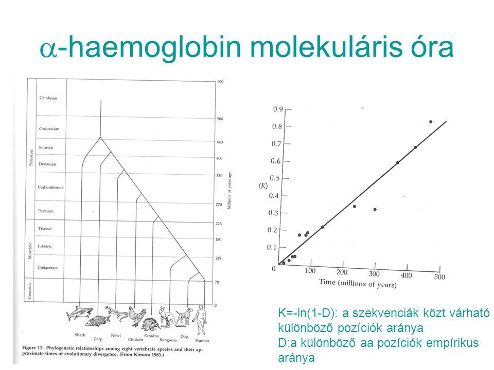  -haemoglobin molekuláris óra K=-ln(1-D): a szekvenciák közt várható különböző pozíciók aránya D:a különböző aa pozíciók empírikus aránya