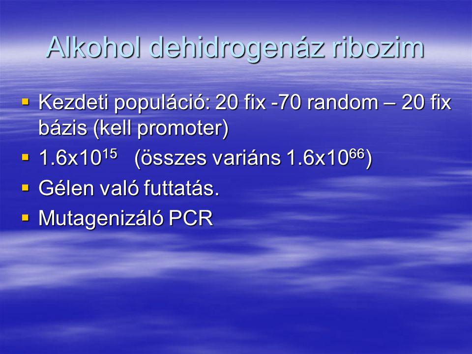 Alkohol dehidrogenáz ribozim  Kezdeti populáció: 20 fix -70 random – 20 fix bázis (kell promoter)  1.6x10 15 (összes variáns 1.6x10 66 )  Gélen való futtatás.