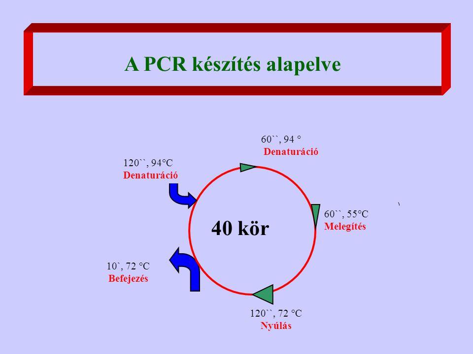 A PCR készítés alapelve 10`, 72 °C Befejezés 60``, 94 ° Denaturáció 40 kör 120``, 94°C Denaturáció 60``, 55°C Melegítés 120``, 72 °C Nyúlás