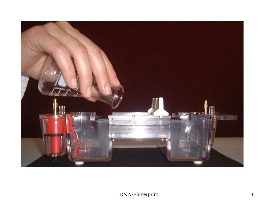 5 1.4A gél megszilárdulása után vegyük ki a fém rudakat az elektrofrézises kamrából.