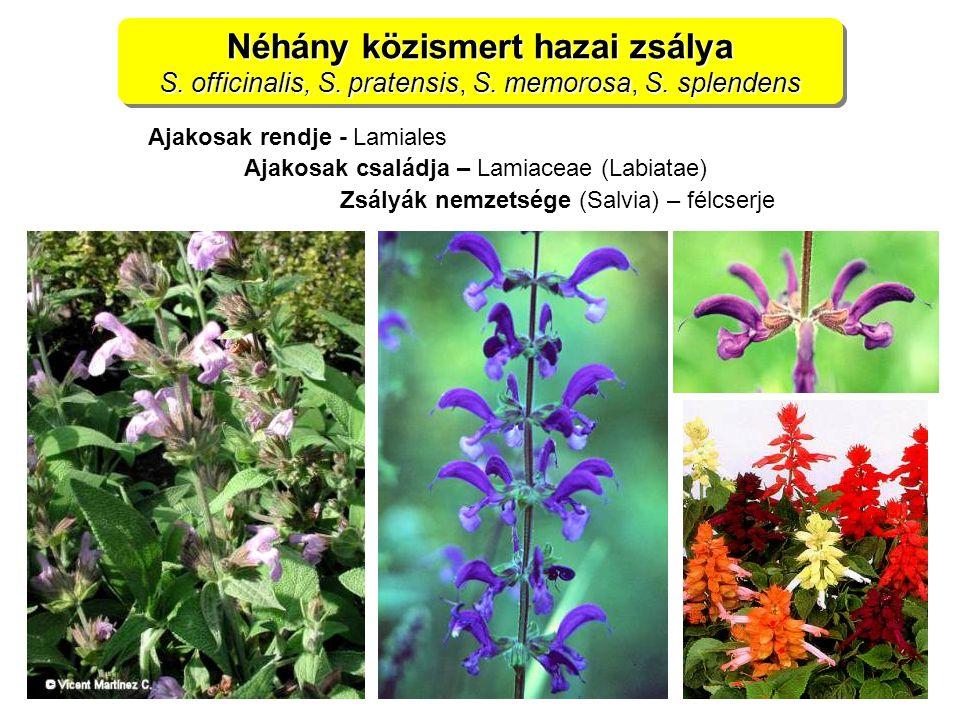 Néhány közismert hazai zsálya S. officinalis, S. pratensis, S. memorosa, S. splendens Néhány közismert hazai zsálya S. officinalis, S. pratensis, S. m