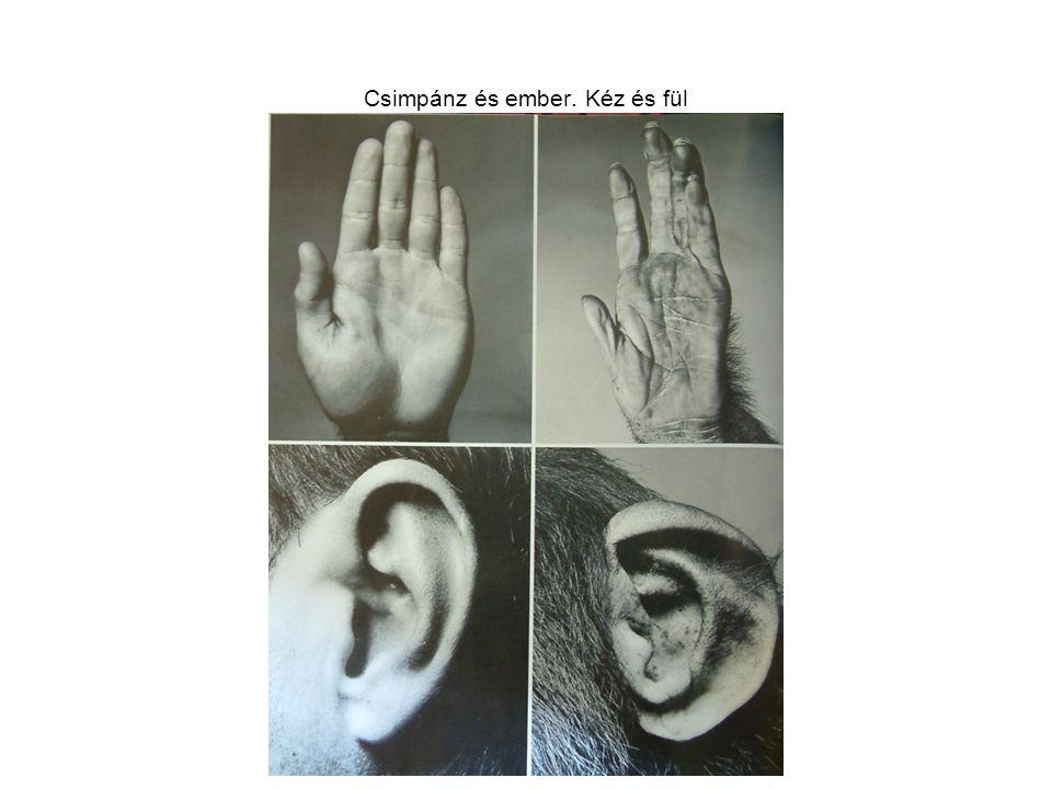 Csimpánz és ember. Kéz és fül