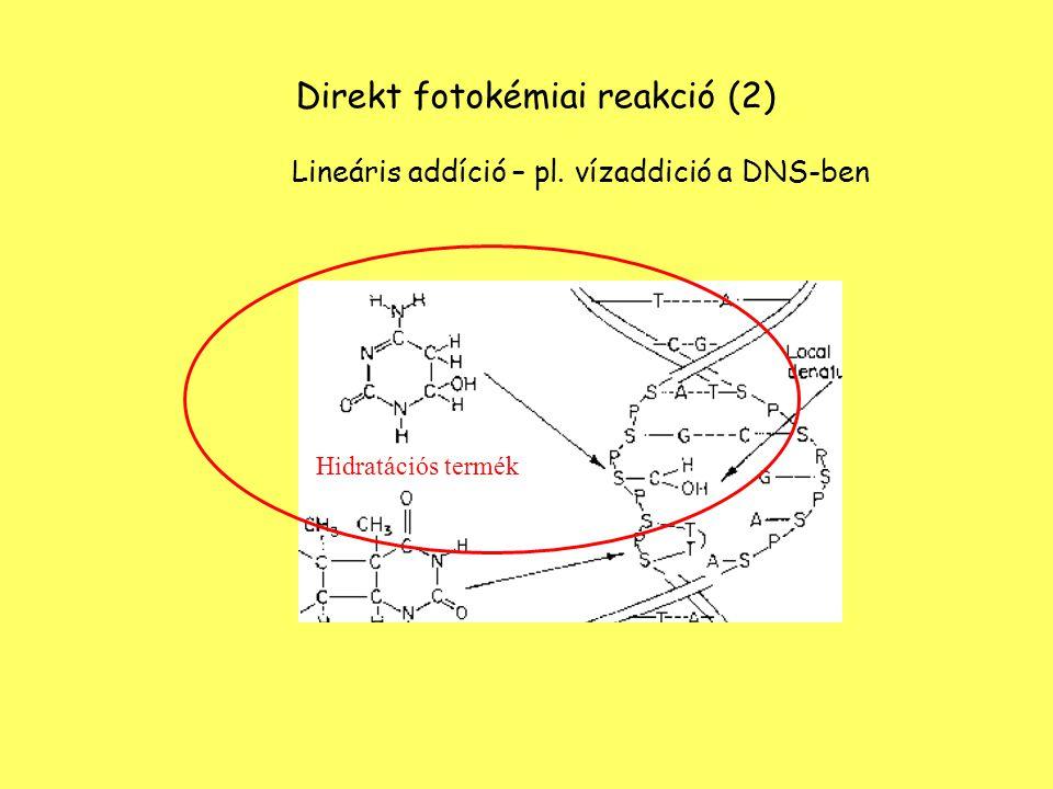 + HS – CH 2 CHCHCOOH NH 2 H S – CH 2 CHCHCOOH UVB - UVC NH 2 H 2 Direkt fotokémiai reakció (2) Lineáris addíció –DNS – fehérje keresztkötés Timincisztein