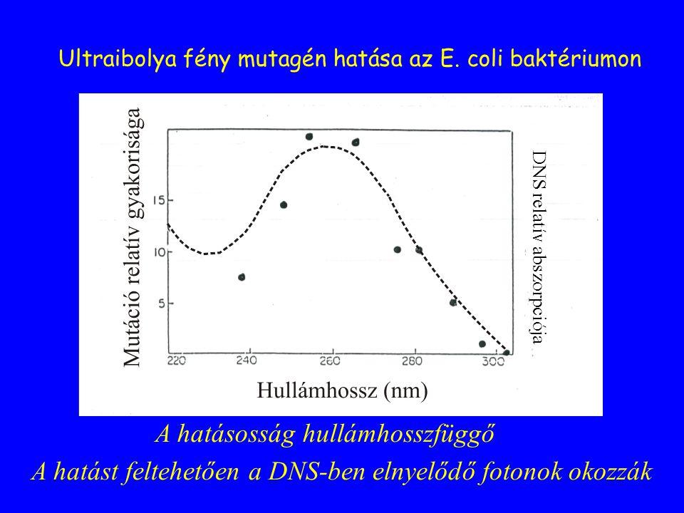 DNS relatív abszorpciója Ultraibolya fény mutagén hatása az E. coli baktériumon A hatásosság hullámhosszfüggő A hatást feltehetően a DNS-ben elnyelődő