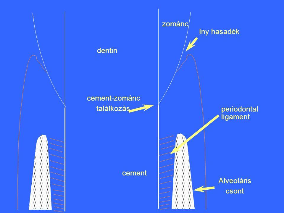zománc dentin cement Alveoláris csont Iny hasadék periodontal ligament cement-zománc találkozás