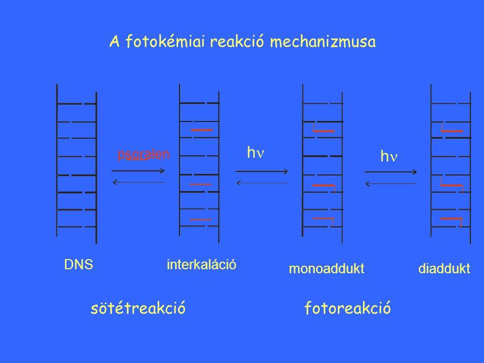 A fotokémiai reakció mechanizmusa DNS psoralen interkaláció monoadduktdiaddukt sötétreakciófotoreakció h h