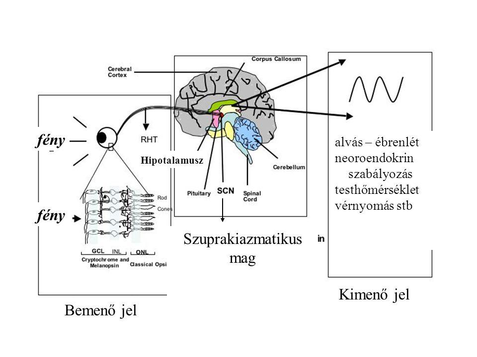 Bemenő jel Kimenő jel Hipotalamusz fény Szuprakiazmatikus mag alvás – ébrenlét neoroendokrin szabályozás testhőmérséklet vérnyomás stb