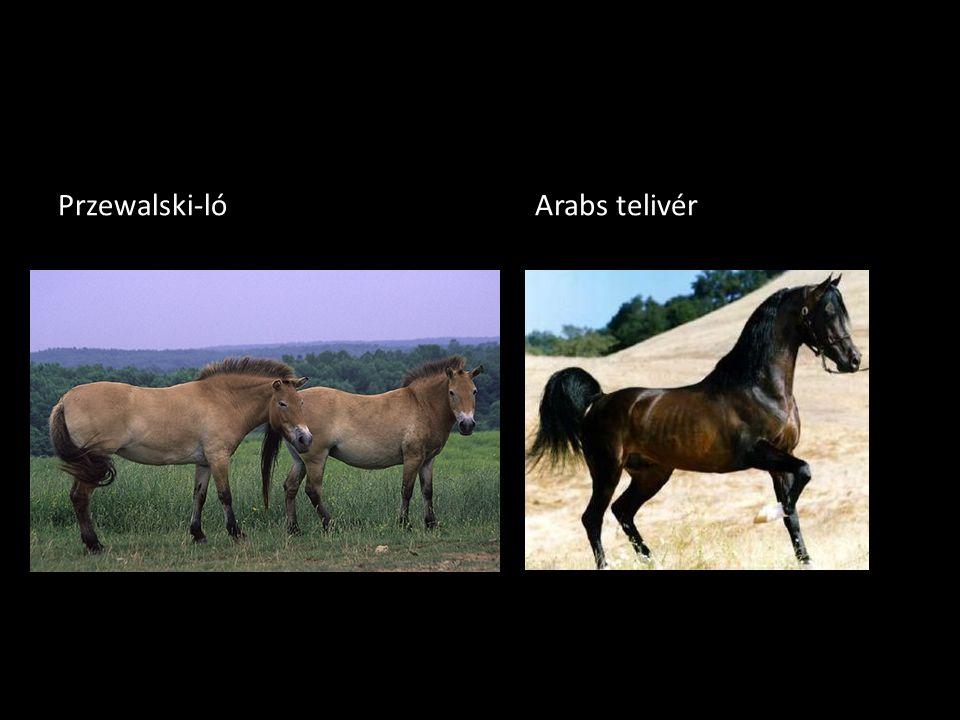 Przewalski-lóArabs telivér