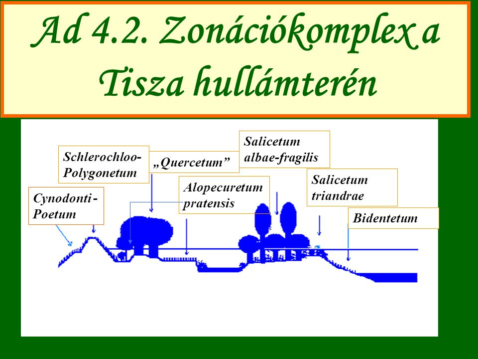 "Ad 4.2. Zonációkomplex a Tisza hullámterén Bidentetum Salicetum triandrae Salicetum albae-fragilis Alopecuretum pratensis ""Quercetum"" Schlerochloo- Po"