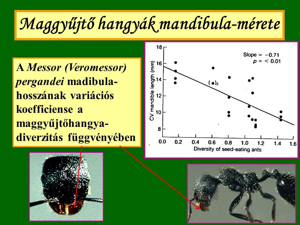 Maggyűjtő hangyák mandibula-mérete A Messor (Veromessor) pergandei madibula- mérete a koegzisztens fajok átlagos méretével összehasonlítva (Davidson 1978 után)