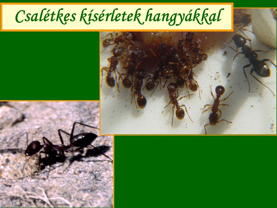 Csalétkes kísérletek hangyákkal
