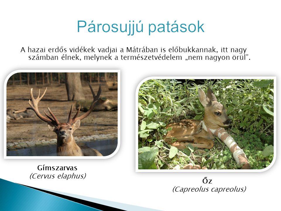 """A hazai erdős vidékek vadjai a Mátrában is előbukkannak, itt nagy számban élnek, melynek a természetvédelem """"nem nagyon örül"""". Gímszarvas (Cervus elap"""