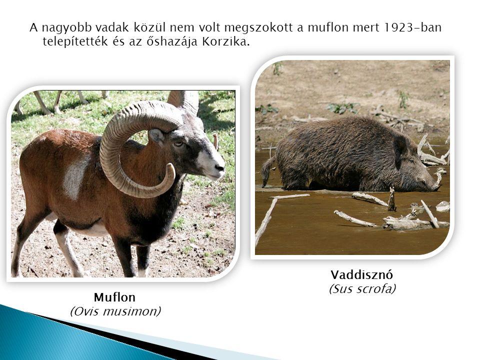 A nagyobb vadak közül nem volt megszokott a muflon mert 1923-ban telepítették és az őshazája Korzika. Vaddisznó (Sus scrofa) Muflon (Ovis musimon)