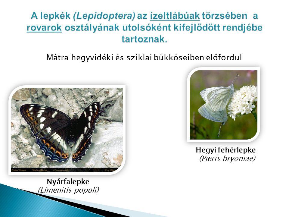 Mátra hegyvidéki és sziklai bükköseiben előfordul Hegyi fehérlepke (Pieris bryoniae) Nyárfalepke (Limenitis populi)