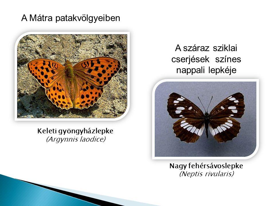 A Mátra patakvölgyeiben Keleti gyöngyházlepke (Argynnis laodice) Nagy fehérsávoslepke (Neptis rivularis) A száraz sziklai cserjések színes nappali lep