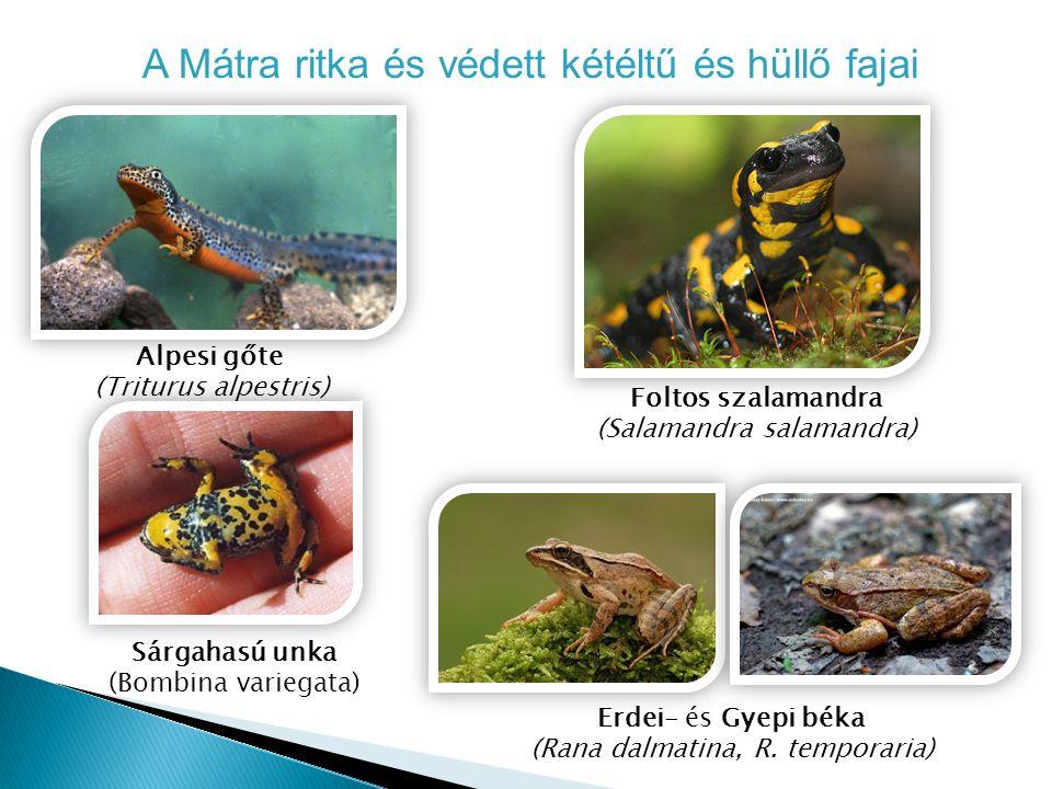 A Mátra ritka és védett kétéltű és hüllő fajai Alpesi gőte (Triturus alpestris) Sárgahasú unka (Bombina variegata) Erdei- és Gyepi béka (Rana dalmatin