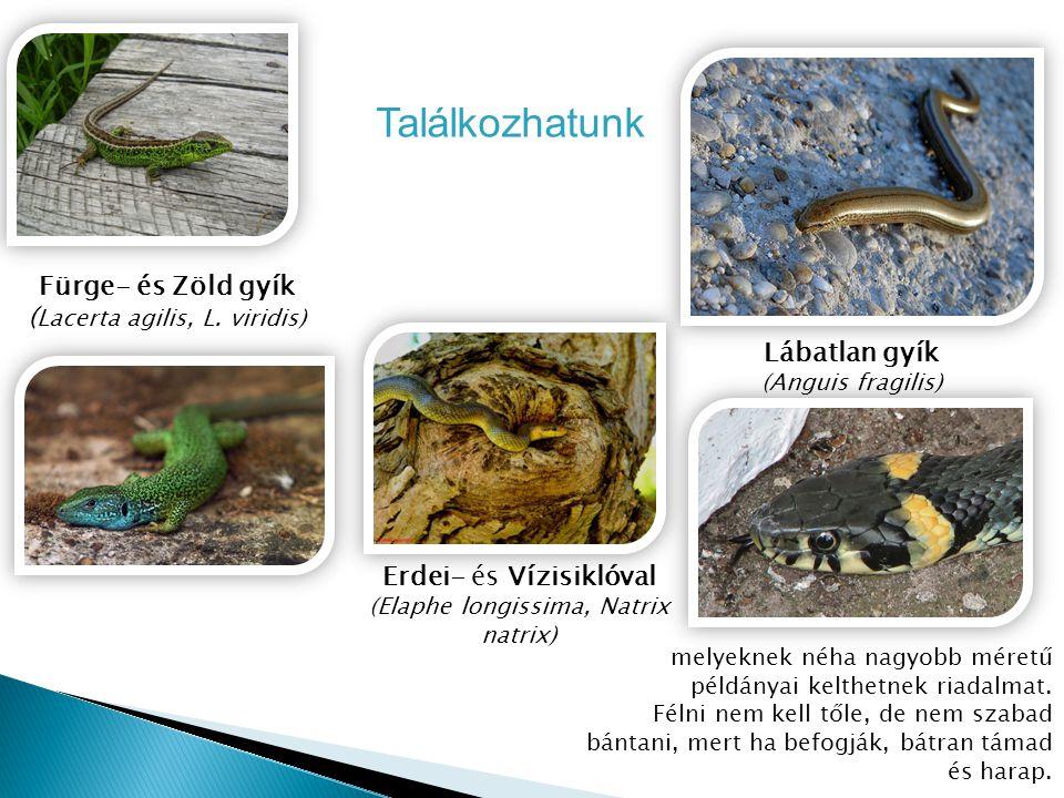 Erdei- és Vízisiklóval (Elaphe longissima, Natrix natrix) Lábatlan gyík (Anguis fragilis) Fürge- és Zöld gyík ( Lacerta agilis, L. viridis) Találkozha