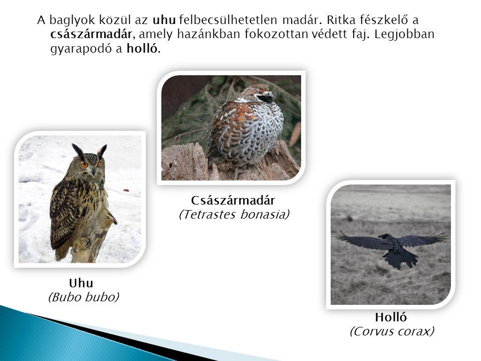 A baglyok közül az uhu felbecsülhetetlen madár. Ritka fészkelő a császármadár, amely hazánkban fokozottan védett faj. Legjobban gyarapodó a holló. Csá