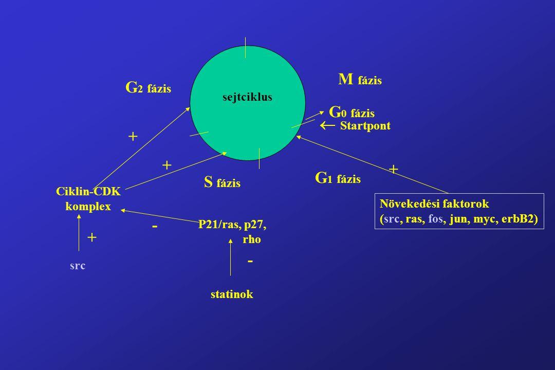  Startpont G 0 fázis M fázis G 1 fázis S fázis G 2 fázis sejtciklus + Növekedési faktorok (src, ras, fos, jun, myc, erbB2) Ciklin-CDK komplex src P21/ras, p27, rho + + + - - statinok
