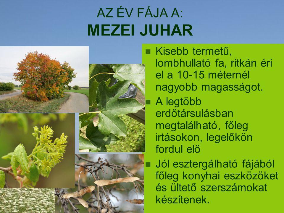 AZ ÉV FÁJA A: MEZEI JUHAR Kisebb termetű, lombhullató fa, ritkán éri el a 10-15 méternél nagyobb magasságot. A legtöbb erdőtársulásban megtalálható, f