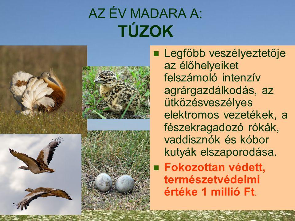 AZ ÉV MADARA A: TÚZOK Legfőbb veszélyeztetője az élőhelyeiket felszámoló intenzív agrárgazdálkodás, az ütközésveszélyes elektromos vezetékek, a fészek