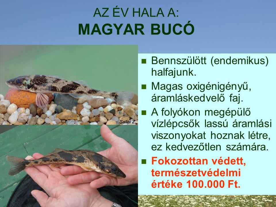 AZ ÉV HALA A: MAGYAR BUCÓ Bennszülött (endemikus) halfajunk. Magas oxigénigényű, áramláskedvelő faj. A folyókon megépülő vízlépcsők lassú áramlási vis