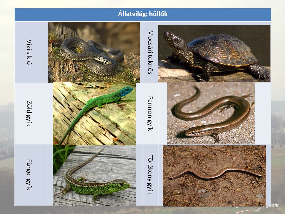 Állatvilág: hüllők Vizi sikló Mocsári teknős Zöld gyík Pannon gyík Fürge gyík Törékeny gyík
