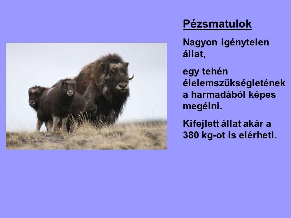 Pézsmatulok Nagyon igénytelen állat, egy tehén élelemszükségletének a harmadából képes megélni. Kifejlett állat akár a 380 kg-ot is elérheti.