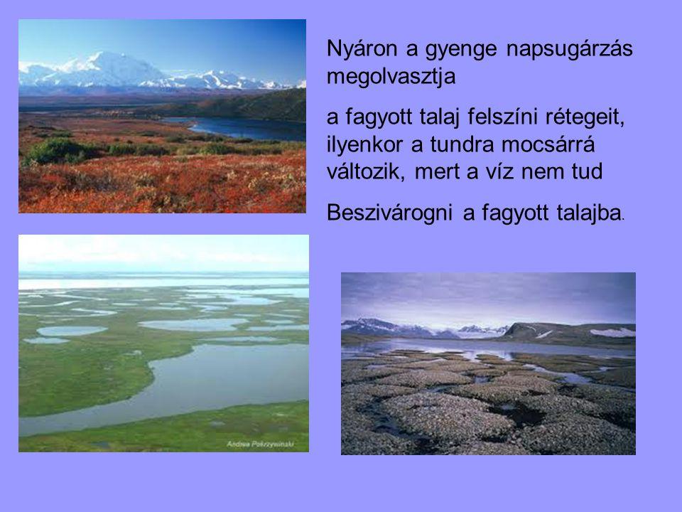 Nyáron a gyenge napsugárzás megolvasztja a fagyott talaj felszíni rétegeit, ilyenkor a tundra mocsárrá változik, mert a víz nem tud Beszivárogni a fag