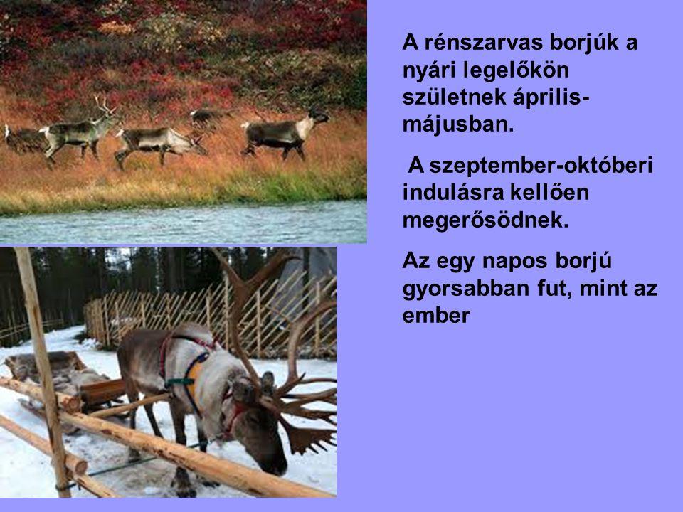 A rénszarvas borjúk a nyári legelőkön születnek április- májusban. A szeptember-októberi indulásra kellően megerősödnek. Az egy napos borjú gyorsabban