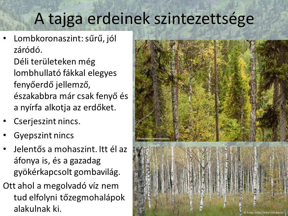 A tajga erdeinek szintezettsége Lombkoronaszint: sűrű, jól záródó. Déli területeken még lombhullató fákkal elegyes fenyőerdő jellemző, északabbra már