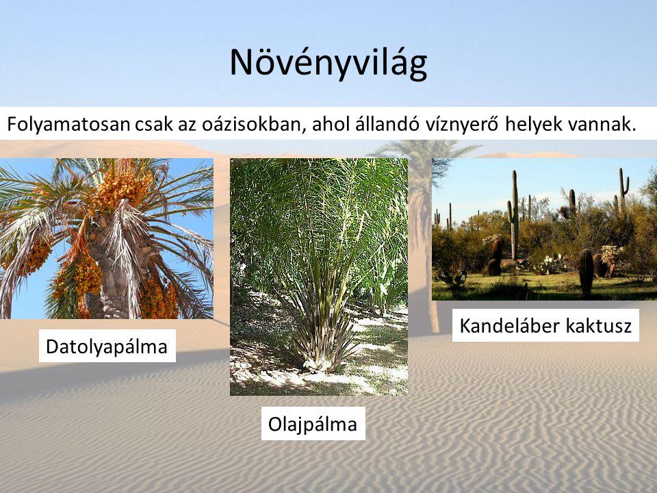Növényvilág Datolyapálma Folyamatosan csak az oázisokban, ahol állandó víznyerő helyek vannak. Kandeláber kaktusz Olajpálma
