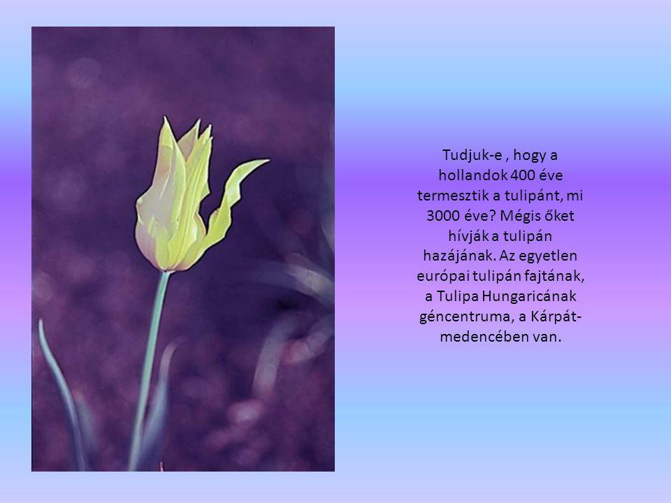Tudjuk-e, hogy a hollandok 400 éve termesztik a tulipánt, mi 3000 éve? Mégis őket hívják a tulipán hazájának. Az egyetlen európai tulipán fajtának, a