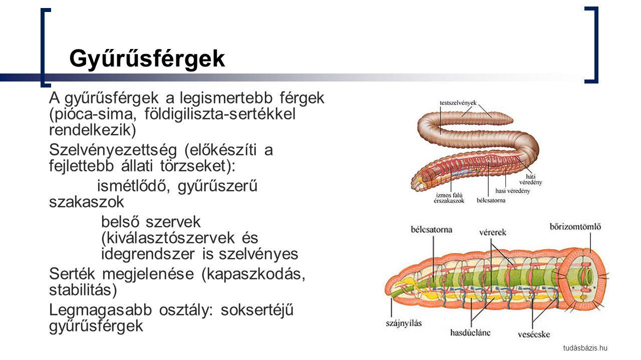 Gyűrűsférgek A gyűrűsférgek a legismertebb férgek (pióca-sima, földigiliszta-sertékkel rendelkezik) Szelvényezettség (előkészíti a fejlettebb állati t