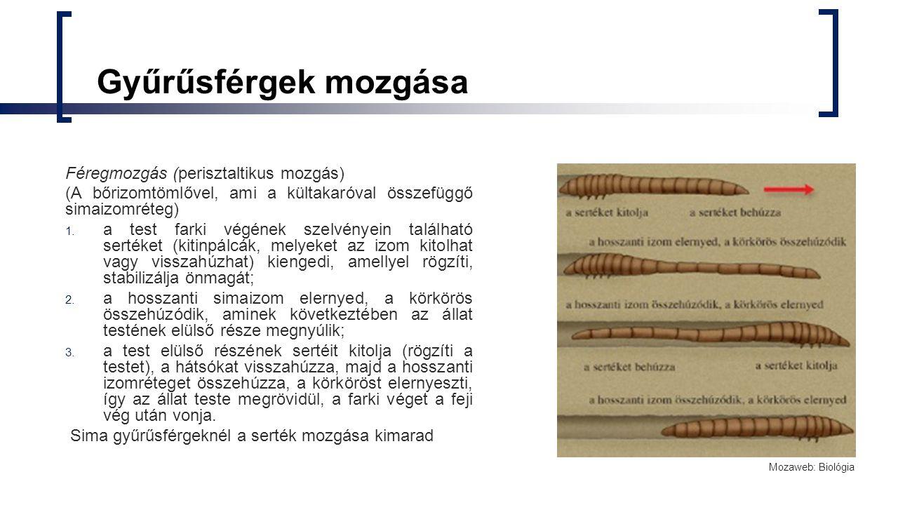 Gyűrűsférgek mozgása Féregmozgás (perisztaltikus mozgás) (A bőrizomtömlővel, ami a kültakaróval összefüggő simaizomréteg) 1. a test farki végének szel
