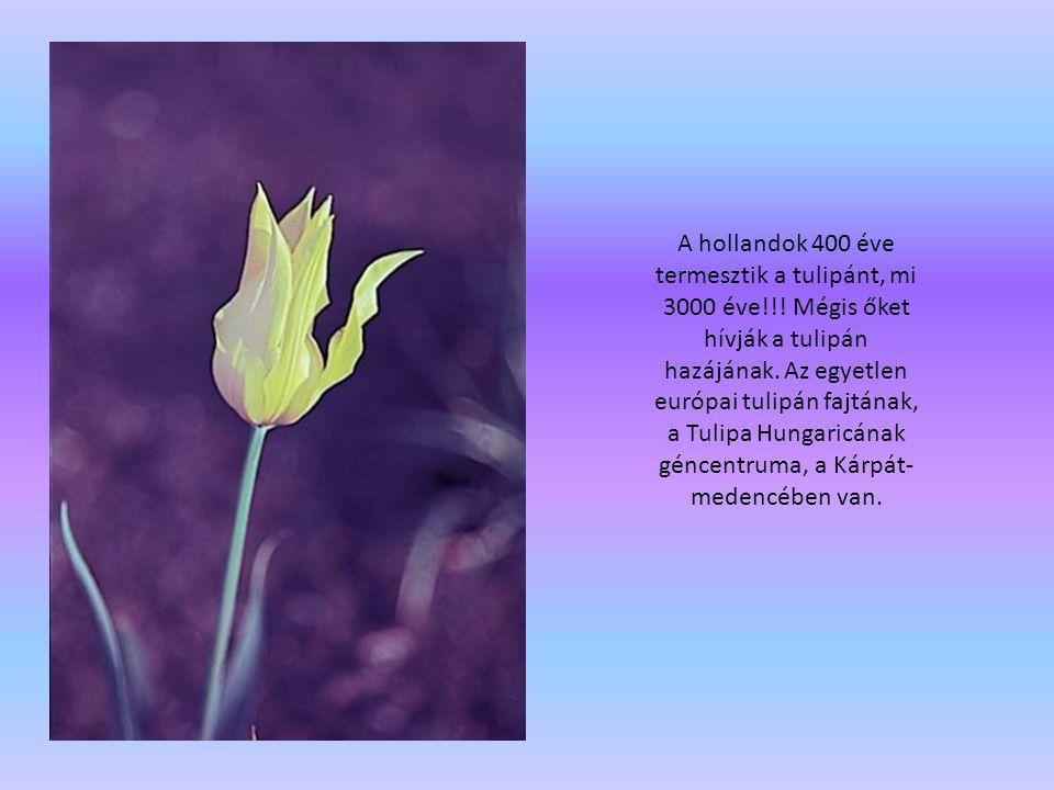 A hollandok 400 éve termesztik a tulipánt, mi 3000 éve!!! Mégis őket hívják a tulipán hazájának. Az egyetlen európai tulipán fajtának, a Tulipa Hungar
