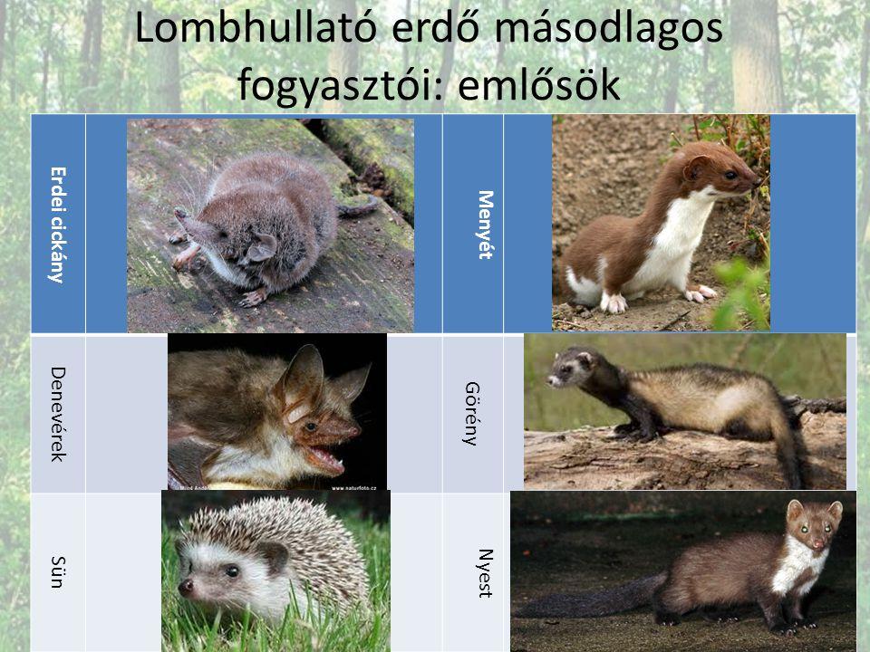 Lombhullató erdő másodlagos fogyasztói: emlősök Erdei cickány Menyét Denevérek Görény Sün Nyest