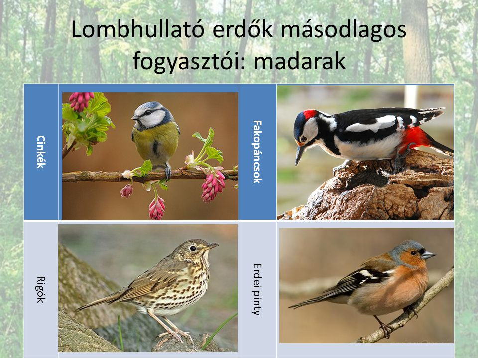 Lombhullató erdők másodlagos fogyasztói: madarak Cinkék Fakopáncsok Rigók Erdei pinty