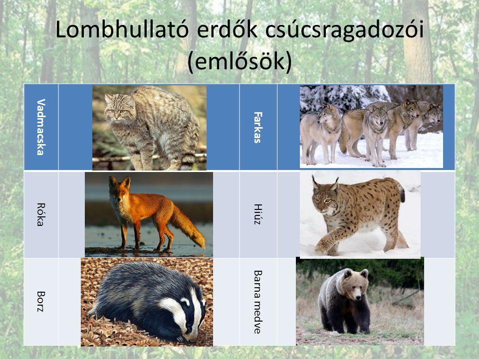 Lombhullató erdők csúcsragadozói (emlősök) Vadmacska Farkas Róka Hiúz Borz Barna medve