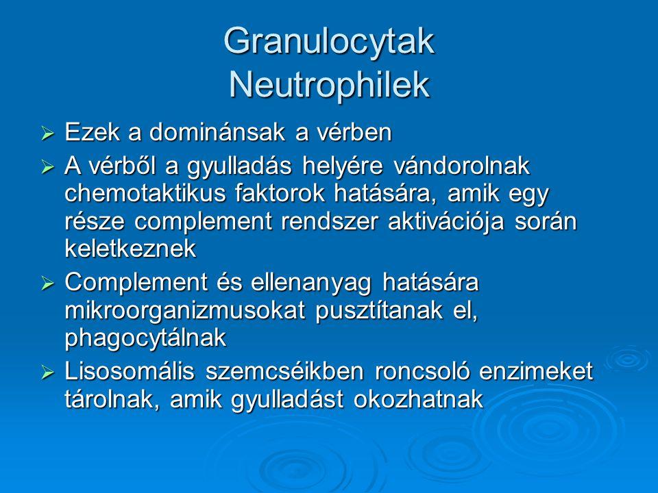 Granulocytak Neutrophilek  Ezek a dominánsak a vérben  A vérből a gyulladás helyére vándorolnak chemotaktikus faktorok hatására, amik egy része comp