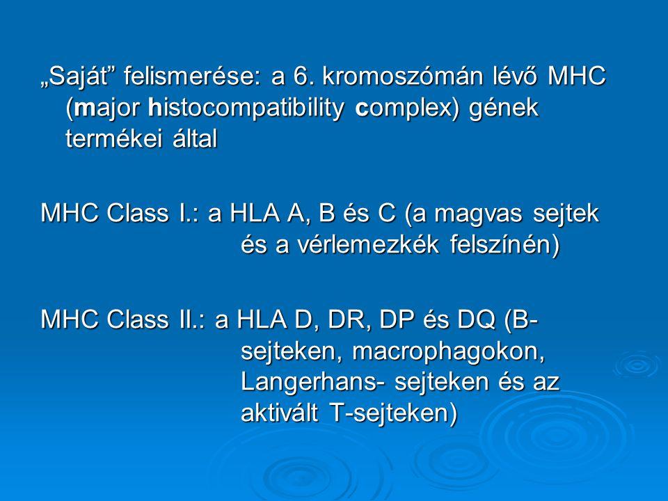 """""""Saját"""" felismerése: a 6. kromoszómán lévő MHC (major histocompatibility complex) gének termékei által MHC Class I.: a HLA A, B és C (a magvas sejtek"""