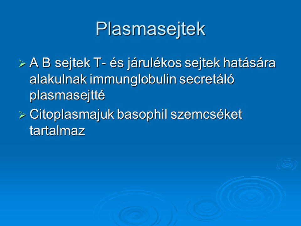 Plasmasejtek  A B sejtek T- és járulékos sejtek hatására alakulnak immunglobulin secretáló plasmasejtté  Citoplasmajuk basophil szemcséket tartalmaz