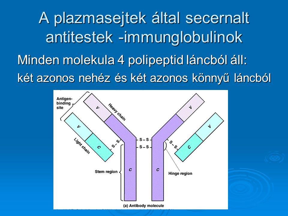 A plazmasejtek által secernalt antitestek -immunglobulinok Minden molekula 4 polipeptid láncból áll: két azonos nehéz és két azonos könnyű láncból