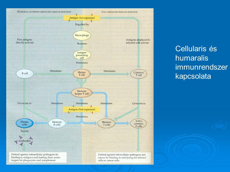 Cellularis és humaralis immunrendszer kapcsolata