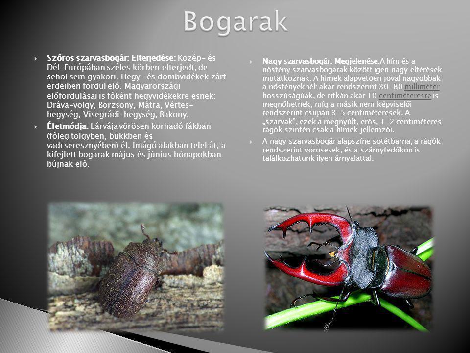  Szőrös szarvasbogár: Elterjedése: Közép- és Dél-Európában széles körben elterjedt, de sehol sem gyakori.
