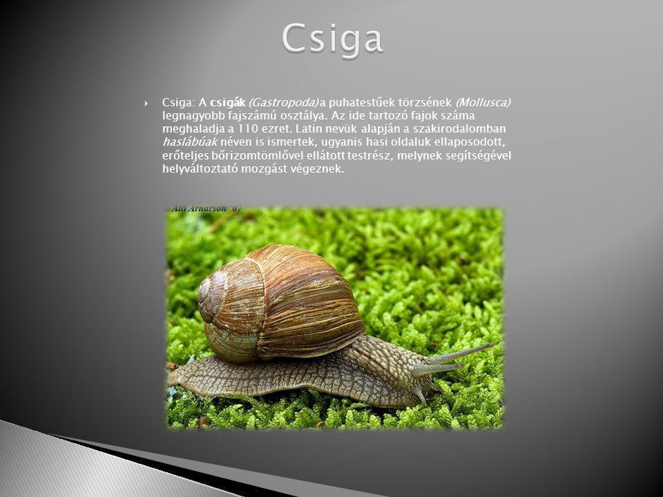  Csiga: A csigák (Gastropoda) a puhatestűek törzsének (Mollusca) legnagyobb fajszámú osztálya.