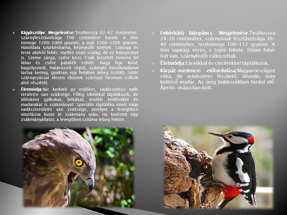  Kígyászölyv: Megjelenése:Testhossza 62-67 centiméter, szárnyfesztávolsága 190 centiméter körüli.
